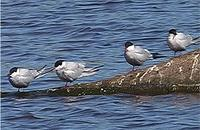 Whiskered Terns