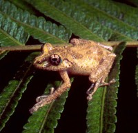 : Spinomantis fimbriatus; Fringed Forest Frog