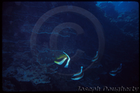 : Heniochus diphreutes; False Moorish Idol