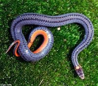 : Storeria occipitomaculata occipitomaculata; Northern Red-bellied Snake