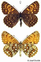 Melitaea diamina - False Heath Fritillary