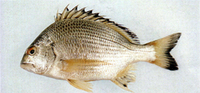 Acanthopagrus australis, Surf bream: fisheries, aquaculture, gamefish
