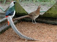 Lady Amherst Pheasant Chrysolophus amherstiae