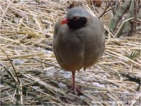 Philby's Rock Partridge Alectoris philbyi