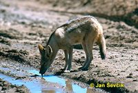Canis mesomelas - Black-backed Jackal