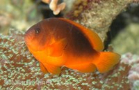 Amphiprion ephippium - Red Saddleback Anemonefish