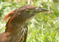 Japanese Night-Heron - Gorsachius goisagi