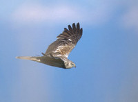 Eastern (Asian) Marsh Harrier (Circus spilonotus) photo