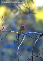 Red-bearded Bee-eater - Nyctyornis amictus