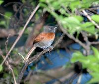 Rufous-breasted Spinetail; El Paval, Chiapas, MX (WEB).jpg