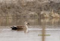 Spot-billed duck C20D 02735.jpg