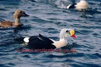 FT0197-00: King Eider male bird. Somateria spectabilis on water. Arctic