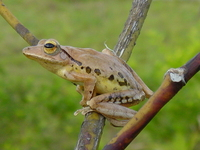 : Polypedates mutus; Vocal Sacless Treefrog