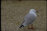 : Larus scopulinus; Red Billed Gull