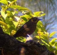 Plain-backed Thrush (Zoothera mollissima) 2005. január 13. Mangoli Valley
