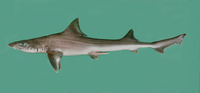 Mustelus mosis, Arabian smooth-hound: fisheries, gamefish