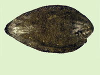 Synaptura marginata, White-margined sole: fisheries