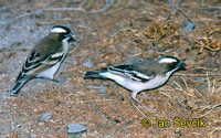 Plocepasser mahali - White-browed Sparrow-Weaver