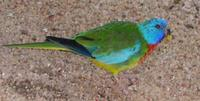 Image of: Neophema splendida (scarlet-chested parrot)