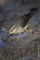 Image of: Seiurus noveboracensis (northern waterthrush)