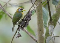 Red-headed Barbet (Eubucco bourcierii) photo