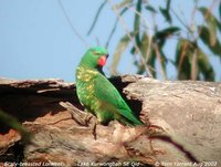 Scaly-breasted Lorikeet - Trichoglossus chlorolepidotus