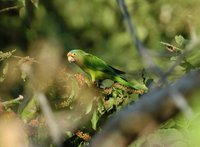 Orange-fronted Parakeet - Aratinga canicularis