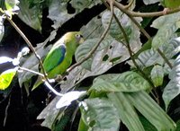 Scarlet-shouldered Parrotlet - Touit huetii