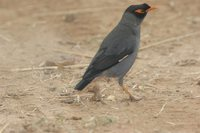 Bank Myna - Acridotheres ginginianus