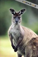 Eastern Grey Kangaroo (Macropus giganteus) photo