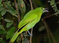 Blue-winged Leafbird - Juvenile?