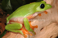 : Agalychnis moreletii; Black-eyed Leaf Frog