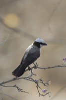 : Eurocephalus anguitimens; Southern White Crowned Shrike