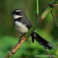 Pied Fantail Scientific name: Rhipidura javanica