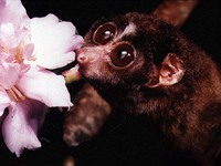 photograph of slender loris : Loris tardigradus