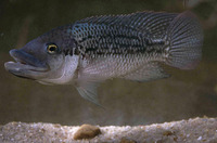 ...a fish, Blue bream, Blue tilapia, Largemouth tilapia, Redfin tilapia, Largemouth kurper, Mozambi