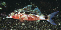 Parupeneus barberinus, Dash-and-dot goatfish: fisheries, gamefish, aquarium