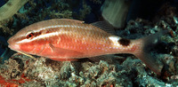 Parupeneus rubescens, Rosy goatfish: fisheries