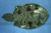 Achirus achirus, Drab sole: aquarium