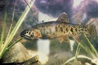 Image of: Oncorhynchus clarkii (cutthroat trout)