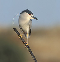 Black-crowned Night-Heron (Nycticorax nycticorax) photo