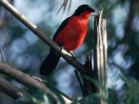 Black-headed Gonolek - Laniarius erythrogaster