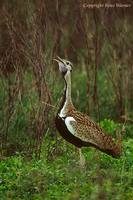 Black-bellied Bustard Singing