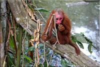 Immature Red Uakari Monkey