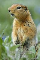 ...Arctic Ground Squirrel ( Spermophilus parryii ) , alert to danger Denali National Park , Alaska