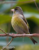 Grey-capped Greenfinch » Carduelis sinica