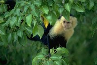 photograph of white-faced-monkey