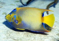Holacanthus ciliaris, Queen angelfish: fisheries, aquarium