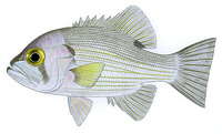Glaucosoma scapulare, Pearl perch: fisheries