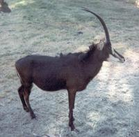 Image of: Hippotragus niger (mbarapi)
